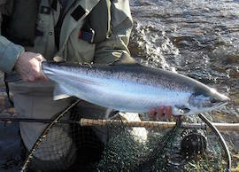 Spring salmon on the Ness